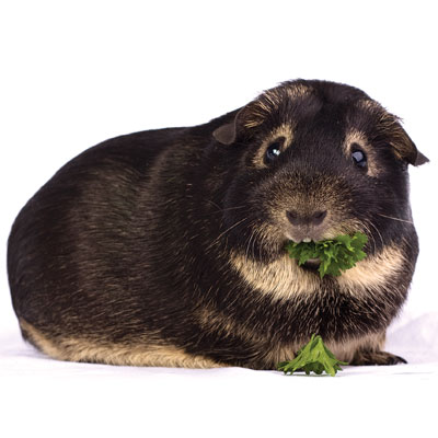 Otter cavy eating parsley